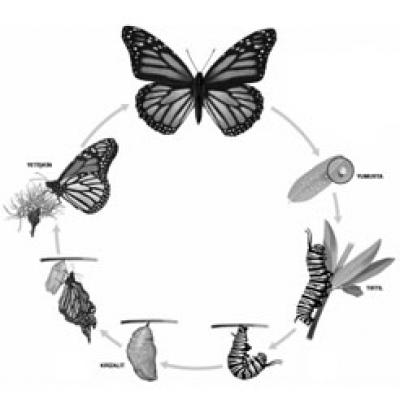 Şu Acayip Kelebekler: Bir Kelebek Doğuyor!